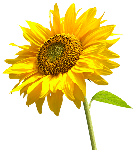 Sunflowers png individual. Sunflower helianthus annuus plant