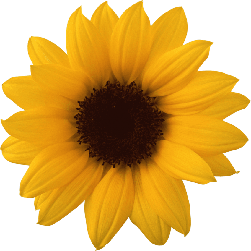Sunflowers png orange. Sunflower free images toppng