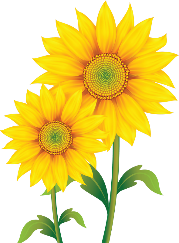 Sunflowers png painted. Fleurs flores flowers bloemen
