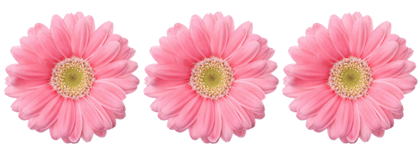 Sunflowers png pink. Images about oxygen