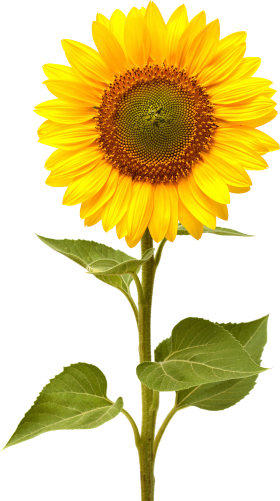 Sunflowers png plant. Sunflower clip art fonts