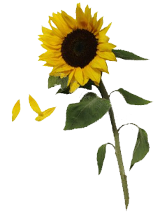 Sunflowers png real. Transparent images all free