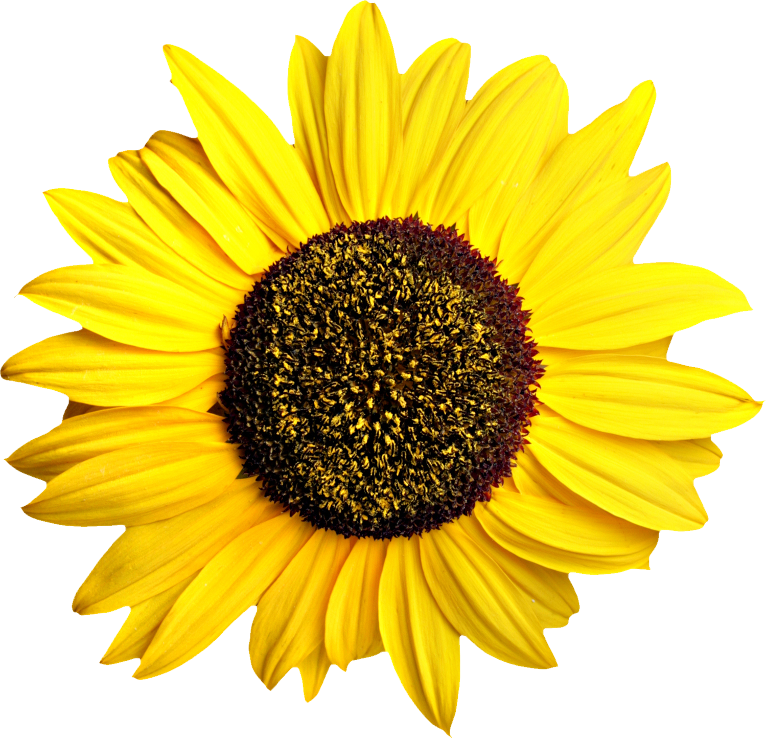 Sunflowers png root. Sunflower free vectors pinterest