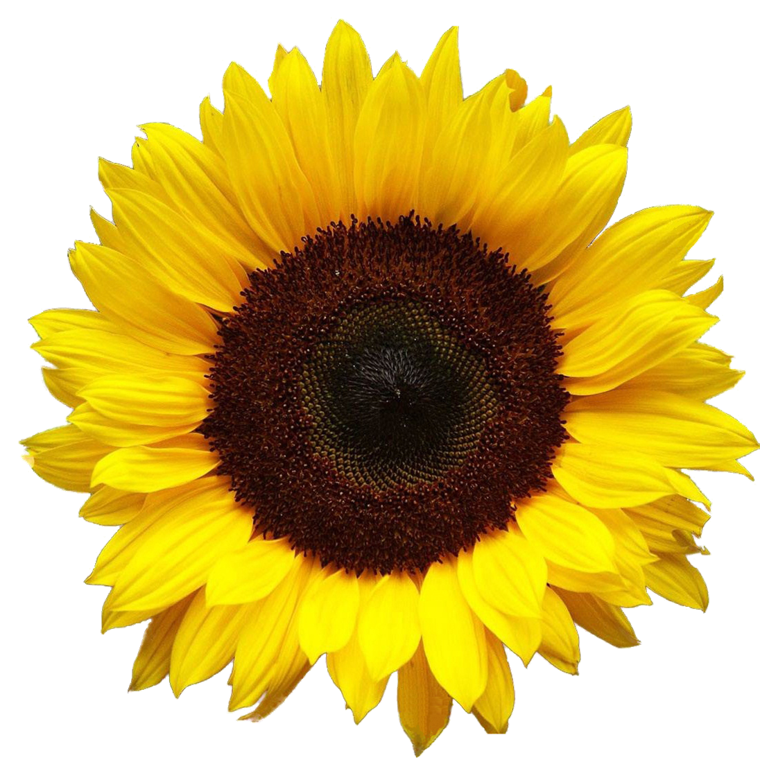 Sunflowers png root. Sun flowers asma with