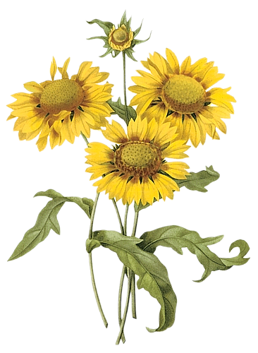 Sunflowers png simple watercolor. Flower collage pinterest clipart
