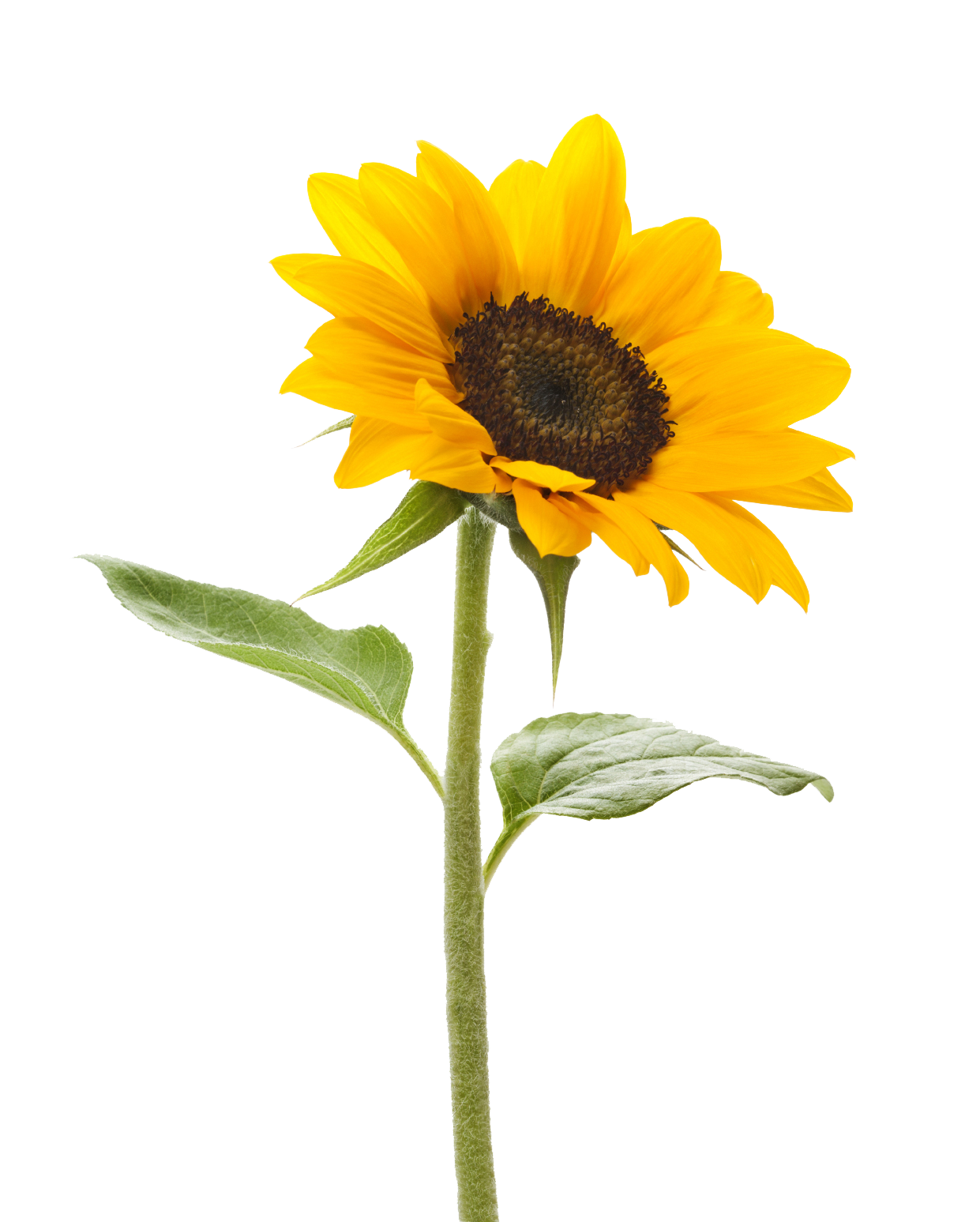Sunflowers png single. Sunflower transparent pictures free