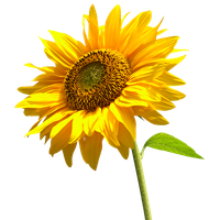 Sunflowers png single. Download free photo images