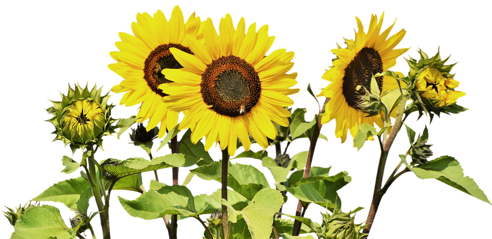 Sunflowers png tall. Best annuals for windy