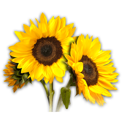 Sunflowers png transparent background. Sunflower images free download