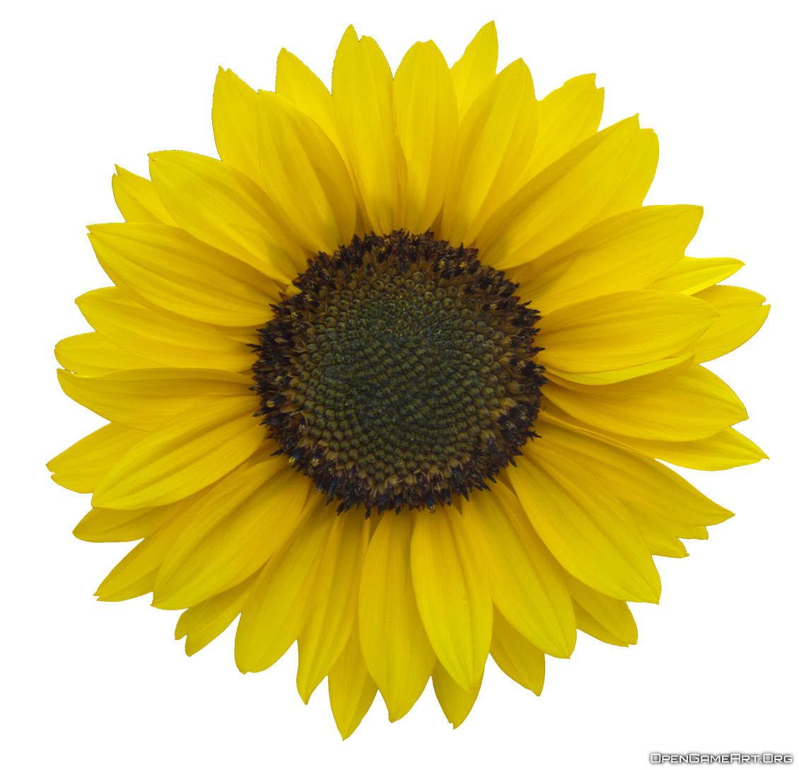 Sunflowers png transparent background. Sunflower pictures free icons