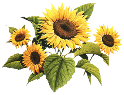 Sunflowers png vintage. Art flowers k kyti