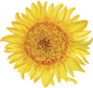 sunflower png watercolor