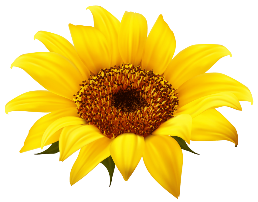 Sunflowers png yellow. Sunflower free images toppng