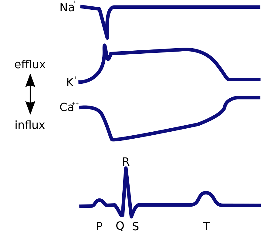 Svg cardiac. File cycle ions related