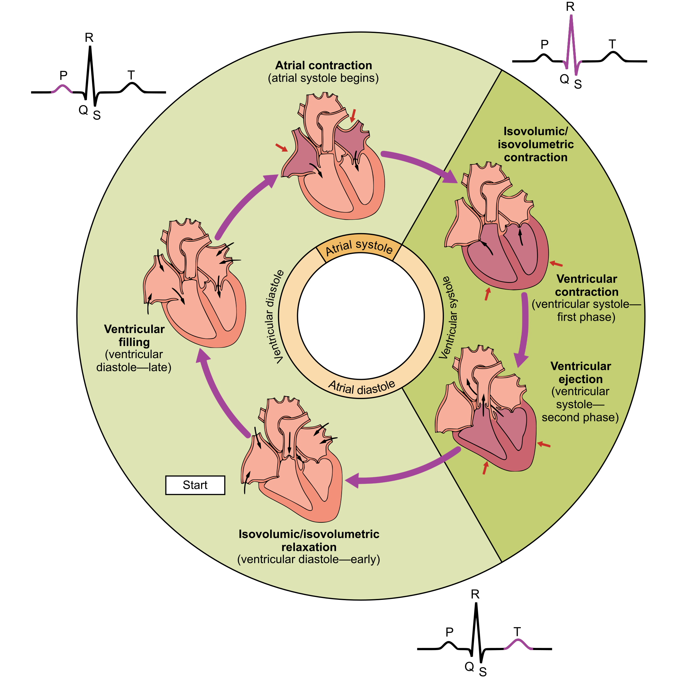 Svg cardiac. File phases of the