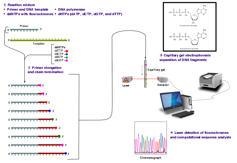 Svg events dntp nucletide. Sanger sequencing wikiwand the