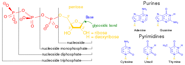 Svg events dntp. Principles of biochemistry nucleic
