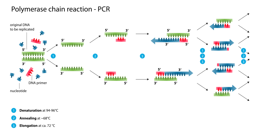 Svg events dntp nucletide. Pcr the polymerase chain