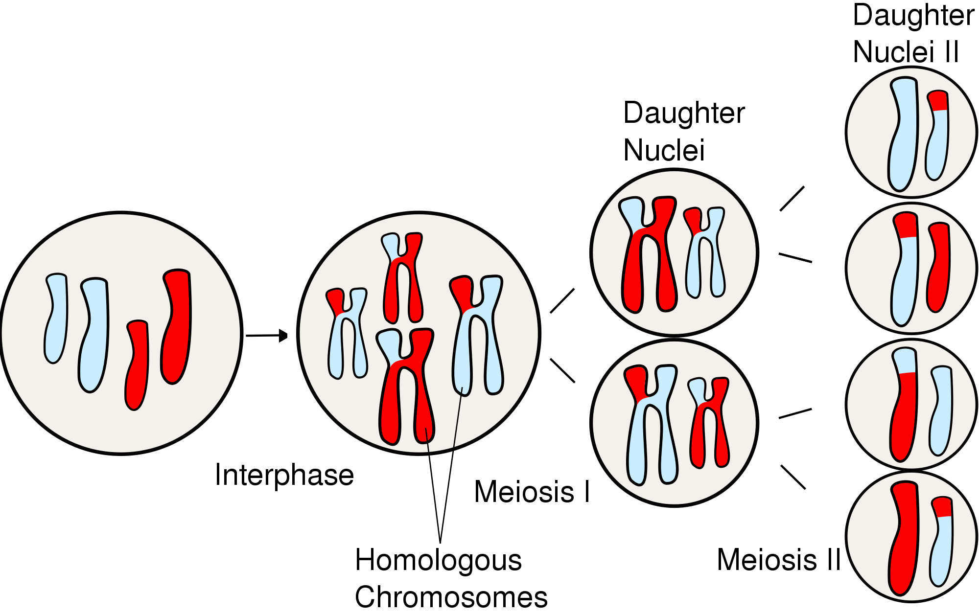 Svg events mitosis. File majoreventsinmeiosis wikimedia commons