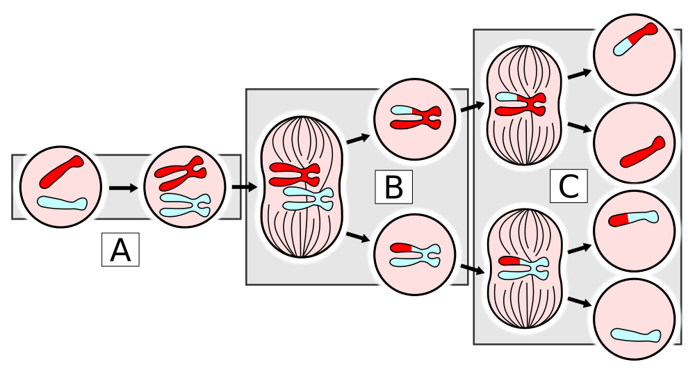 Svg events mitosis. The cell meiosis in