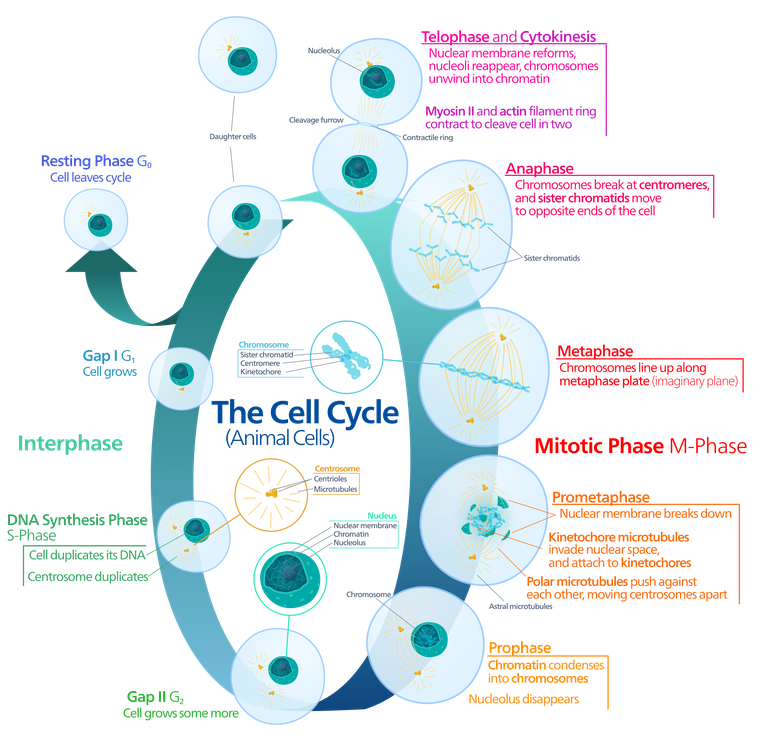 Svg events mitosis. The cell cycle of