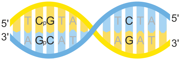 Svg sites cpg islands. Site wikiwand cphosphateg nucleotides