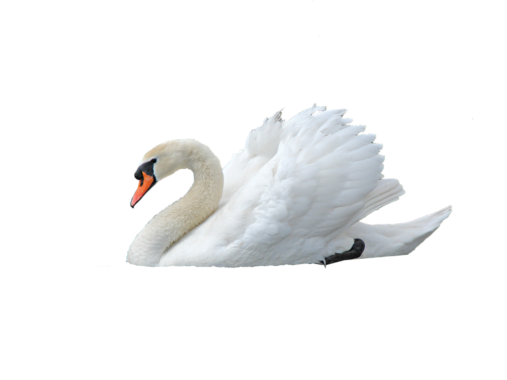 Swan transparent clear. Png image web icons