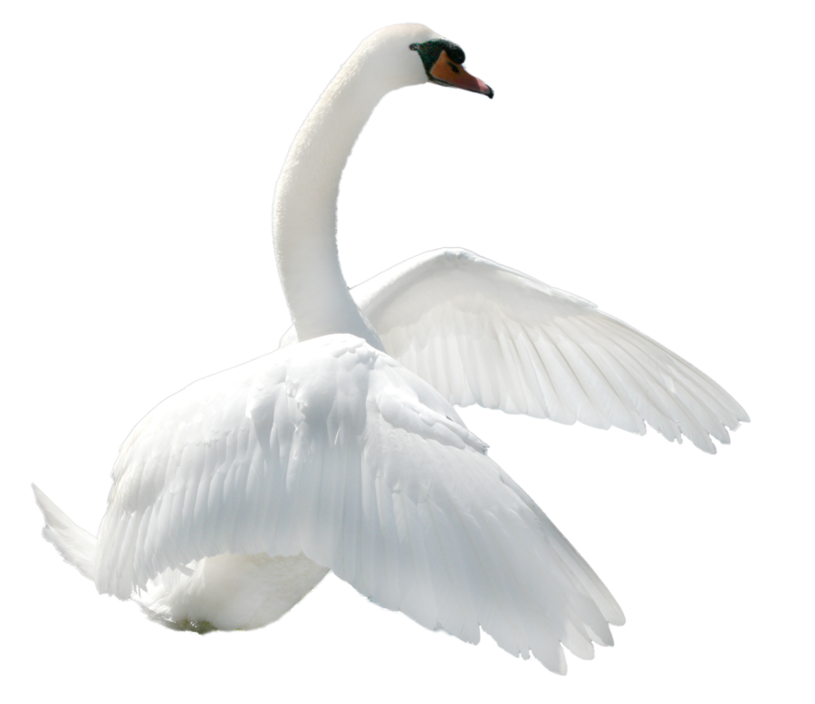 Swan transparent. Png images all image