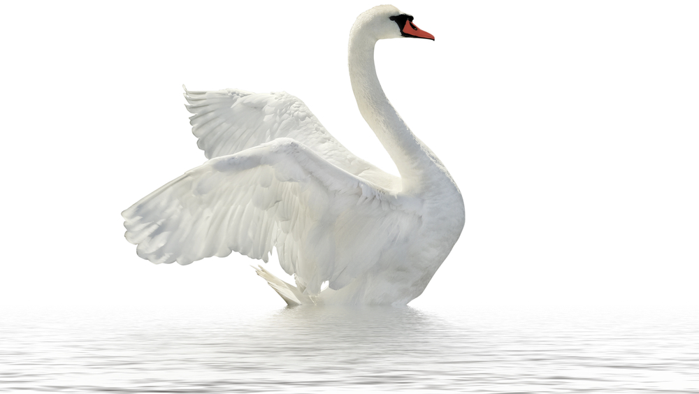 Swan transparent clear. Png images free download