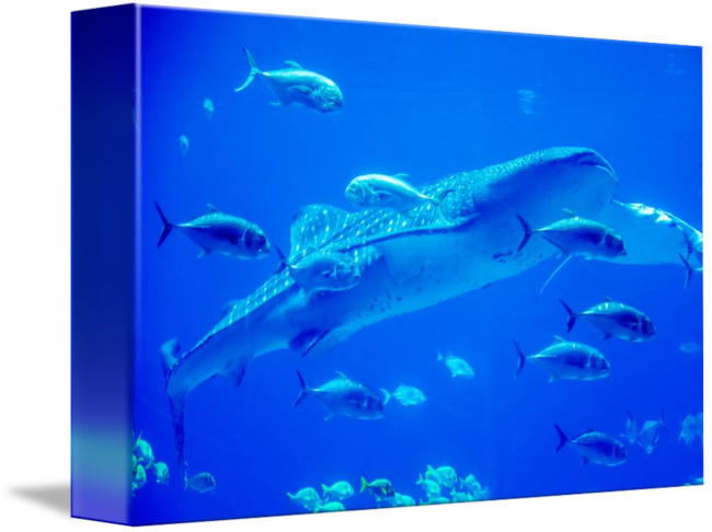 Swimming transparent aquarium. Whale sharks in with