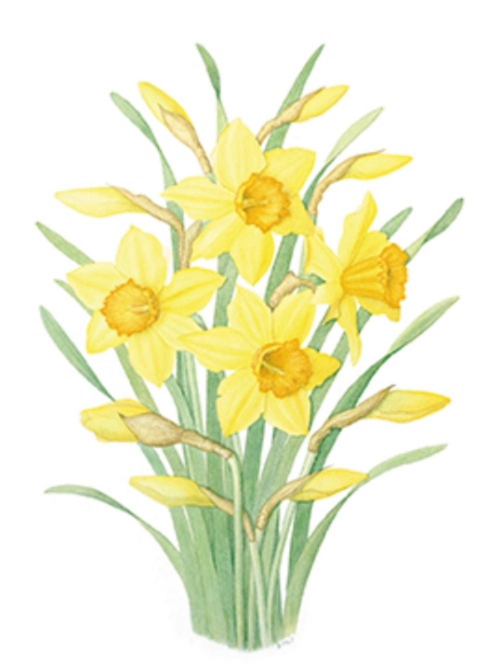 Pack of mini medici. Daffodil clipart wind graphic free library