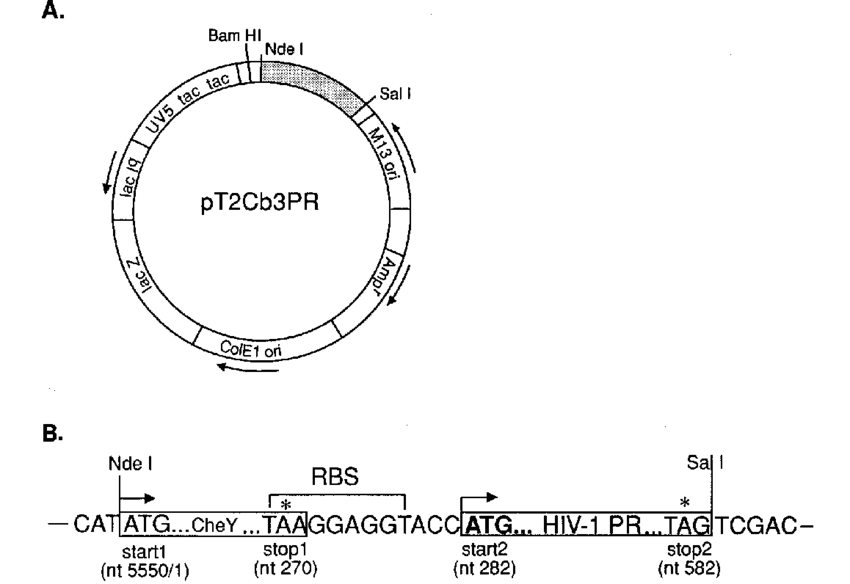 Tac vector ffp. Bacterial expression system for