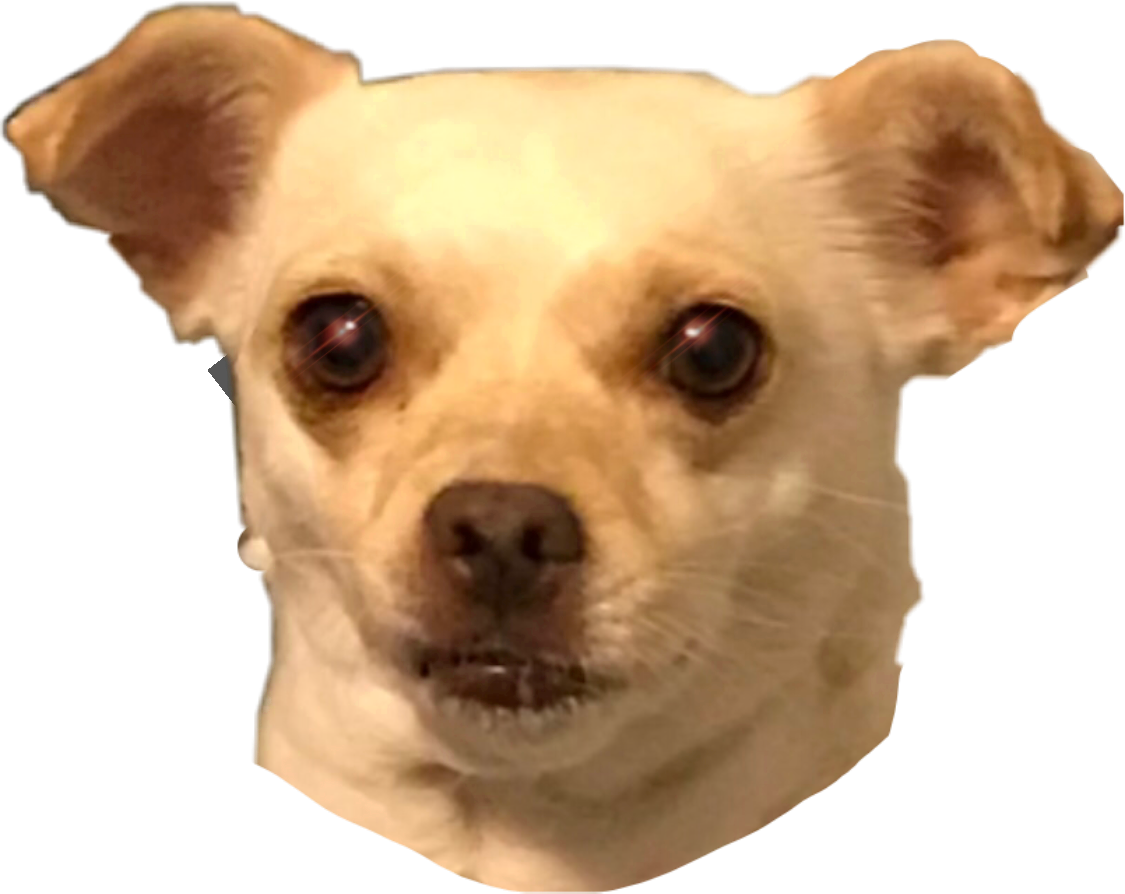 Taco bell dog png. Chihuahua tacobell chicachihuahua chica