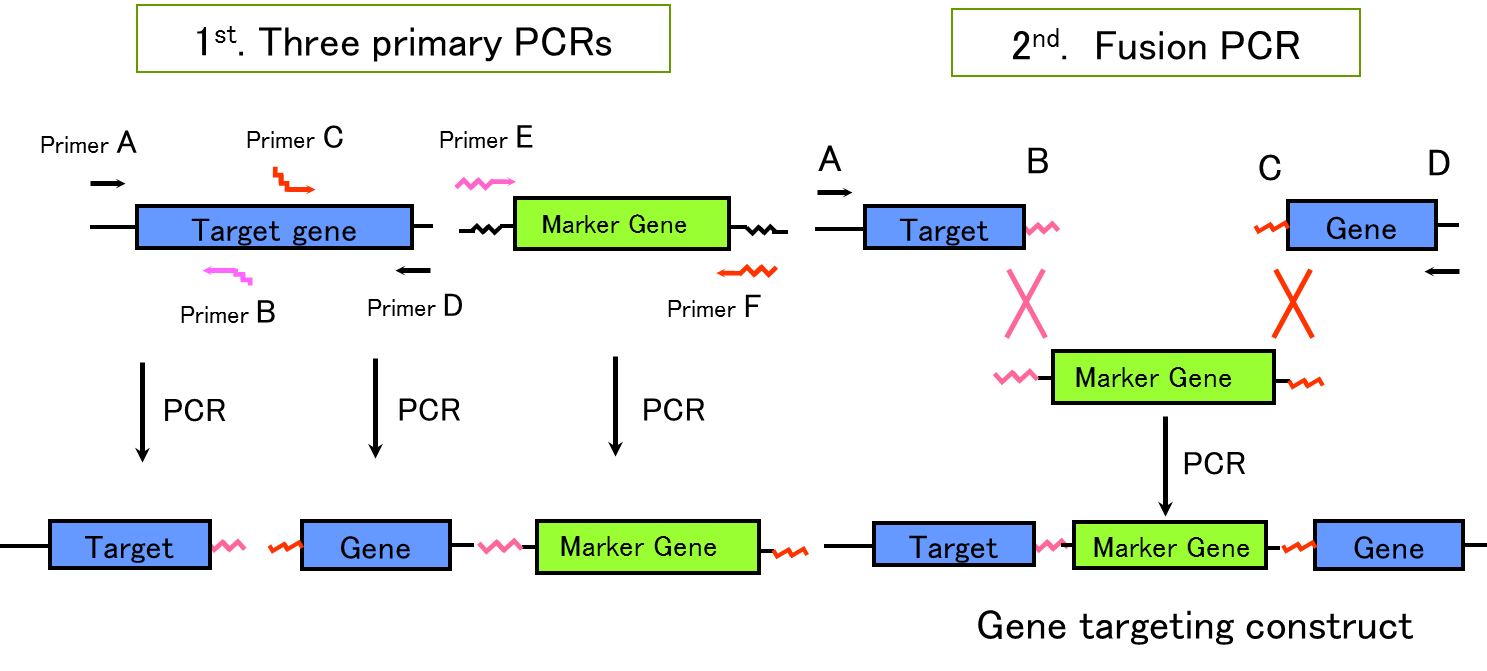Targeting vector learning. Schematic diagram of pcr