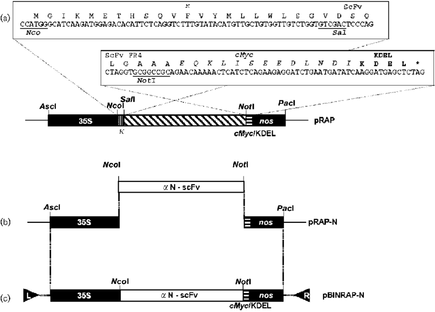 Targeting vector template. Cloning scheme of the