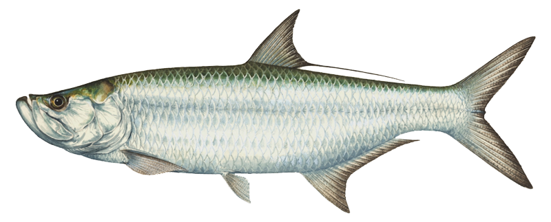 Tarpon vector saltwater fish. Png reference pinterest wooden