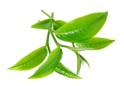 tea tree png