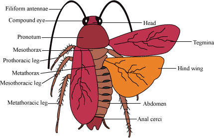 Termite drawing labelled diagram. Draw a of coackroach