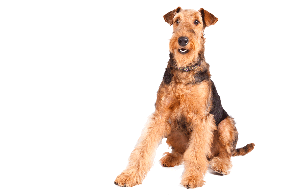 Terrier drawing airedale. Dog breed information dawgs