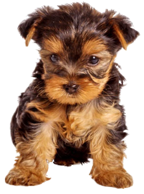 Terrier drawing teacup yorkie. Of course i want