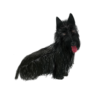 Terrier drawing scottish. Pepper i wanted to