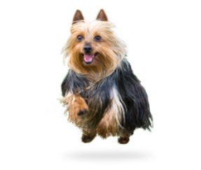 Terrier drawing silky. Photos characteristics information dog