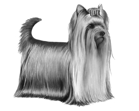 Terrier drawing silky. Yorkshire wisdom panel bw