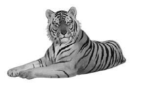 Tiger clipart real. Black and white