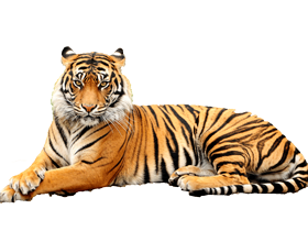 Tiger clipart real. Png transparent images and