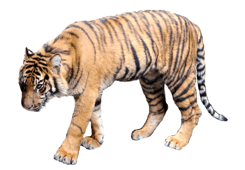 Tiger clipart real. Lge this style image