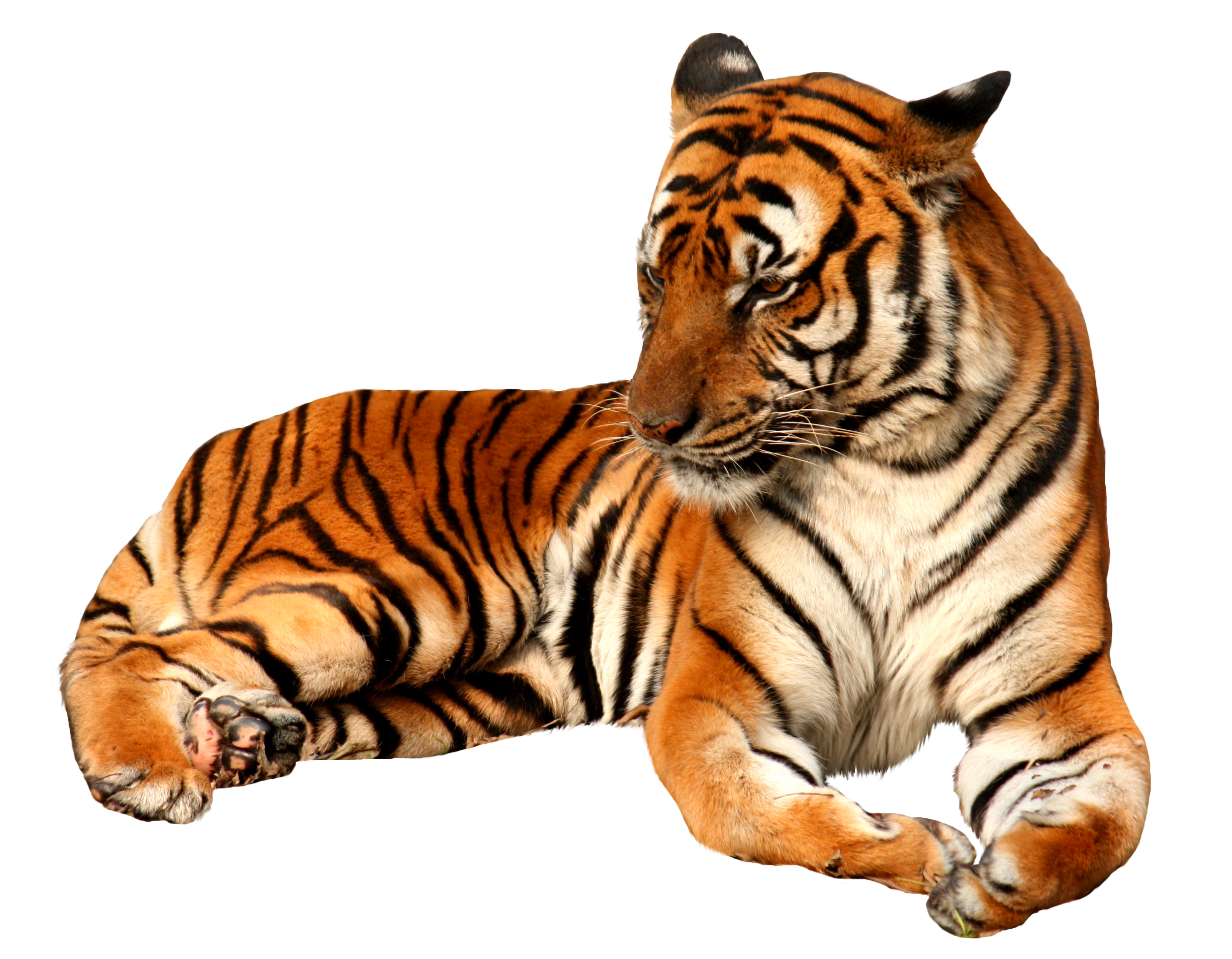 Sad animals png. Tiger image without background