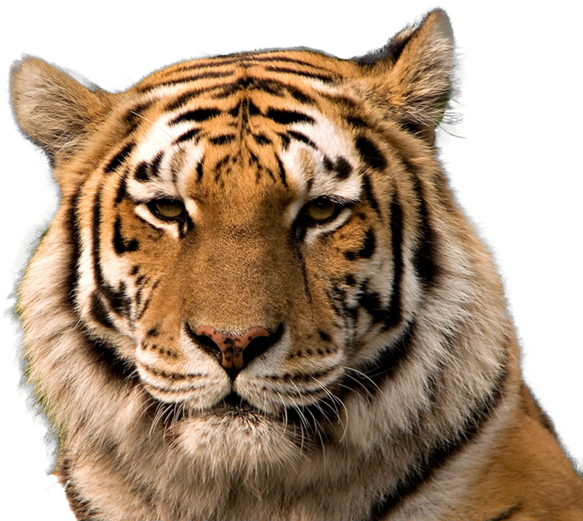 Tiger head png. Download face transparent background