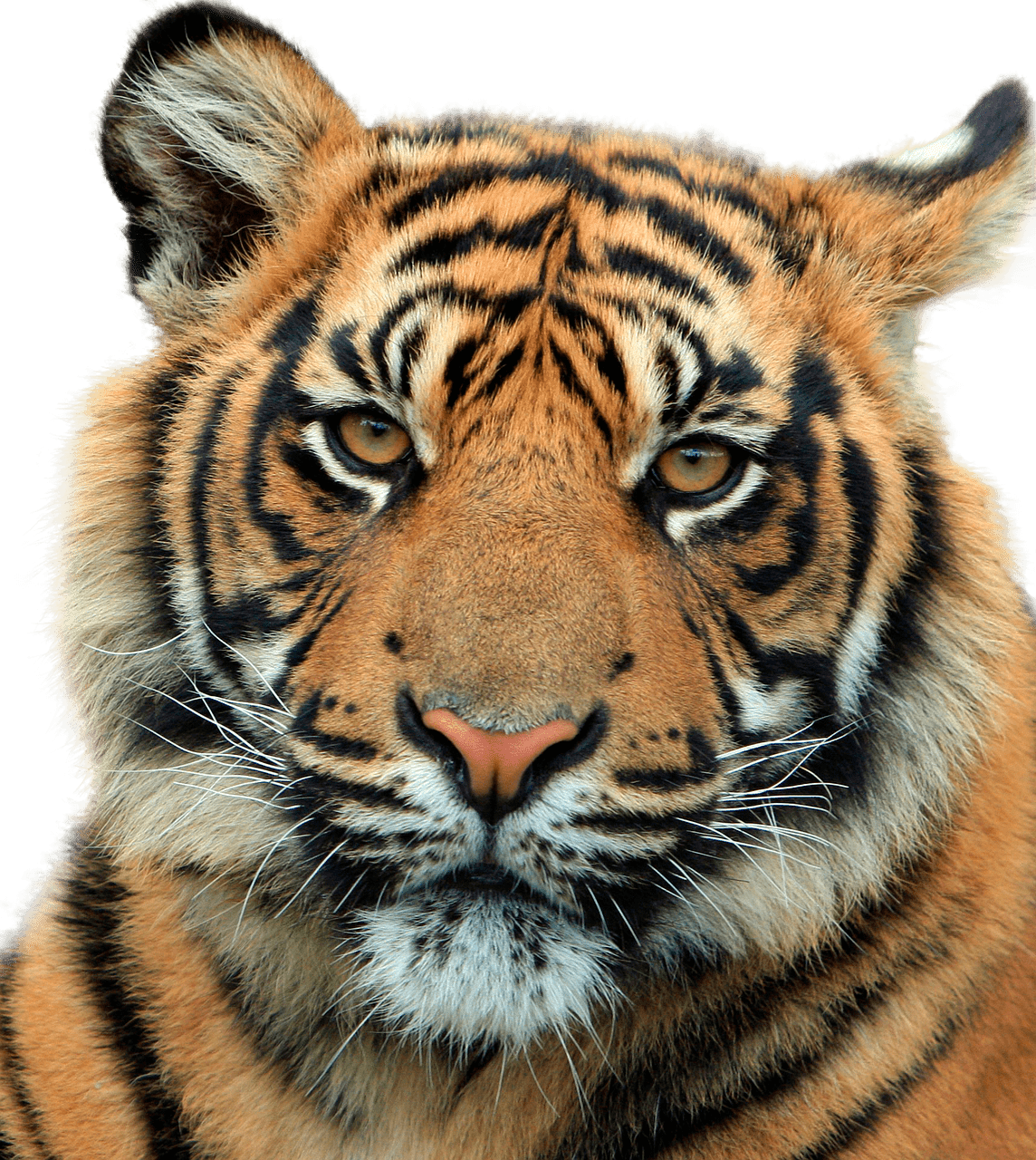 Tiger head png. Close up transparent stickpng