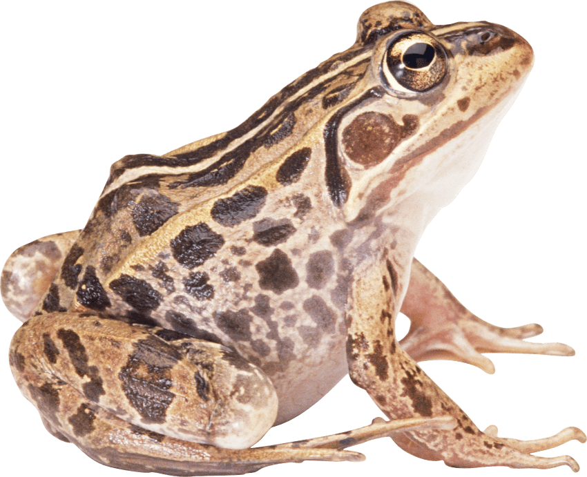 toad transparent white background